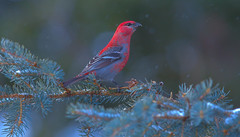 Pine Grosbeak (Male) (Khanh B. Tran) Tags: