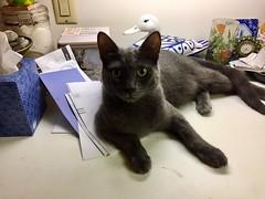 Teddy (Philosopher Queen) Tags: teddy cat chat gato kitty posing portrait graycat bluecat
