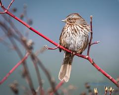 Jack Sparrow (ausmc_1) Tags: nikkor2oo500f56vr spring 2017 shushwap wildlife d800 outdoor bird songbird sparrow canada salmonarm britishcolumbia wetland songsparrowmelospizamelodia