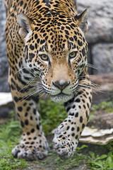 Jaguar walking towards me (Tambako the Jaguar) Tags: walking attitude standing portrait grass stones action male jaguar onca big wild cat jacksonvillezoo jacksonville zoo florida unitedstates america usa nikon d5