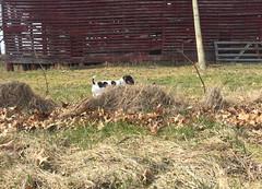 Corn Crib and Puppy (marylea) Tags: mar24 2017 farm exploring dooley dog parsonrussellterrier parsonrussell jackrussellterrier jackrussell puppy 11weeksold rural michigan washtenawcounty terrier
