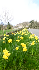 Daffodils on Hawkhill Rd, Eyam   -   April 2017 (dave_attrill) Tags: daffodils hawkhill road 260 deaths eyam derbyshire peak district hope valley 11th century village bubonic plague breakout 1665 rev william mompessom anglo saxon roman lead mining flowers yellow mothers day spring outdoor historic mid 17th april 2017 national park white mines domesday book