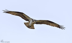 Osprey in flight. (Estrada77) Tags: nikon 200500mm april2017 spring osprey raptors inflight distinguishedraptors wildlife outdoors birds birdsofprey