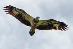 DSC09755_DxO_LR (teckhengwang) Tags: white bellied sea eagle juvenile singapore wild raptor bird sky soar spread wings