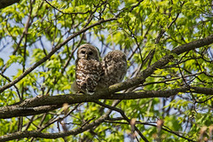 Polk County, Iowa 4/22/2017 (Doug Lambert) Tags: owlets barredowlets barredowl clive iowa midwest raptor wildlife bird nature canon 6d tamron 150600 owl