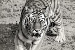 Tigerkatze (Renate Bomm) Tags: bwandsepia thursdays 7dwf canoneos6d hanja kölnerzoo project365 renatebomm tiger zoo ef200mmf28lusm blackwhite schwarzweis tigerkatze fleischfresser groskatze sibirischertiger amurtiger