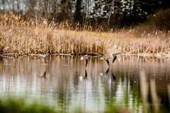 Unknown Birds (jenna.lindquist) Tags: wisconsin ducks birds ufo bird flying flyingducks flyingduck duck water waterfowl pond cattails canon canon70200f28lll canon5dmarkiii unidentifiedbird unknownbird northwoods