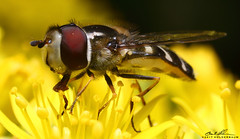 Pollen Collector 2 (striving67) Tags: macro insects flowerfly hoverfly fly pollen