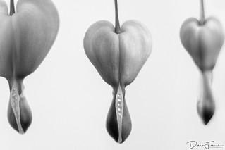 Bleeding Hearts - Black & White