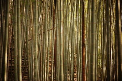 Bamboo and trees (philHendley) Tags: bamboo