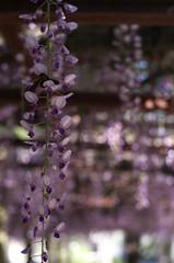 Wisteria trellis (shuichi.hashimoto) Tags: wisteria honeybee flower fa 43mmf19