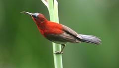 Crimson Sunbird (aethopyga siparaja) (mrm27) Tags: singapore singaporebotanicgardens singaporebotanicgarden sunbird crimsonsunbird aethopyga aethopygasiparaja