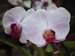 orchid (Ana Júlia Milani) Tags: orchids orchid flor flores flowers flower sonyh300 orquídeas orquídea