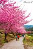 桜の花見@台湾 (SU QING YUAN) Tags: sakura beauty beautiful pretty tree trees flower flowers pink sky taiwan landscape a55 1680za variosonnartdt35451680