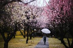 Sanrokugama : Plum Blossoms (Nazra Zahri) Tags: bizen okayama japan 2017 raw spring plumblossoms 梅の花 vscofilm