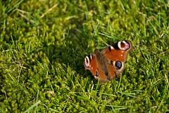 BUTTERFLY (benhiel) Tags: vlinders