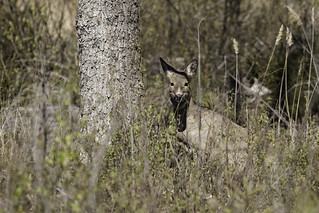 Watching! (Rådyr / Roe deer)