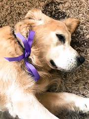 Toby (KelJB) Tags: animal pose funny sweet portrait face beautiful cute canine pet goldenretriever retirever lace bow ribbon dog littledoglaughedstories