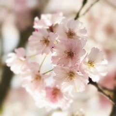 Precious light (nathaliedunaigre) Tags: blossoms fleursdecerisiers fleurs flowers rose pink softness douceur light lumière printemps spring carré square