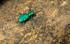 Six Spotted Tiger Beetle (dianne_stankiewicz) Tags: sixspottedtigerbeetle beetle green metallic big insect