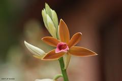 Orchidée, Hué, Vietnam (jpto_55) Tags: fleur orchidée macro bokeh xe1 fuji fujifilm omlens om135mmf28 hué vietnam