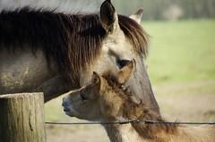 So vertraut ............. (ღ eulenbilder - berti ღ) Tags: wildpferdebahn mersfeld dülmen wildpferde fohlen