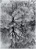 Reflected Tree 2017 (kckelleher11) Tags: 1445mm 2017 april bw black ep2 ir infrared ireland olympus white kildare newbridge panasonic reflected tree