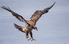 IMG_6055 Bald Eagle (Wallace River) Tags: aboiteau baldeagle bito icefishing wallacebay