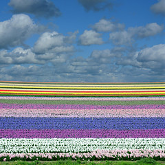 untitled (lisse, netherlands) (bloodybee) Tags: 365project lisse netherlands holland europe tulip field flower sky clouds landscape layers stripes colors square hyacinth