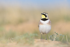 Male Horned Lark (Amy Hudechek Photography) Tags: horned lark male breeding colors bird grasslands sing song colorado amy hudechek