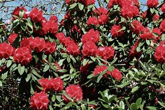 Rhododendron Blossom. (Eddie Crutchley) Tags: europe england cheshire outdoor nature shrub rhododendron blossom flowers beauty sunlight greatphotographers