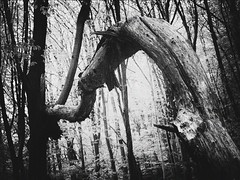 A helping hand (Ádám Fehér) Tags: trees forest decay bnw blackwhite trunk plant art canopy nature outdoor leaves hornbeam canon impression tree wood
