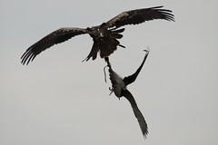 Luftkampf (reipa59) Tags: flugkünstler milan falke greifvogel potzberg tierpark rheinlandpfalz