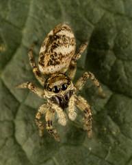 Jumping Spider (Dexon123) Tags: salticus scenicus jumping spider uk essex