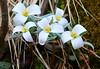 snow trillium at Bigalk Creek IA 854A7641 (lreis_naturalist) Tags: snow trillium nivale blooming bigalk creek howard county iowa larry reis