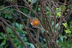 Robin redbreast (georgehart64) Tags: erithacusrubecula smallbird bird johnstongardens aberdeen aberdeenshire scotland canon70d canon robin ef100400mm f4556l is ii usm redbreast