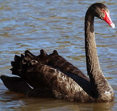 Black Swan with Red Duck's Beak (publicdomainphotography) Tags: animal aquatic beak bird black blue countryside family fauna feather float floating fluffy fowl grace gray grey head lake living natural nature neck ornithology outdoor park plumage pond poultry reflection reservoir ripple river rural scene serenity shore single swan swim swimming water waterbird waterfowl wave wet wild wildlife wing