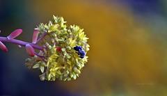 Di fiore in fiore - From flower to flower (Jambo Jambo) Tags: fiori flowers primavera spring nikond5000 jambojambo grosseto maremma maremmatoscana maremmacountryside toscana tuscany italia italy ape bee sedum stonecrop sedumpalmeri piantagrassa