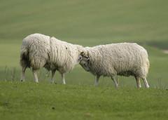 Rams Ramming Heads (grahambrown1965) Tags: pentaxistds smcpentaxf300mmf45edif pentax istds ram rams sheep ramming headbutting butting animal animals downs sussex sussexdowns justpentax pentaxart smcpf300mmf45edif
