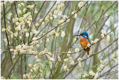 Common Kingfisher (male) - IJsvogel (man) (Alcedo atthis) (Martha de Jong-Lantink) Tags: 2017 alcedoatthis commonkingfisher elsalnus elzenkatjes fotohutalblasserwaard grootammers ijsvogel vogel vogelhutalblasserwaard vogels commonkingfishermale ijsvogelman