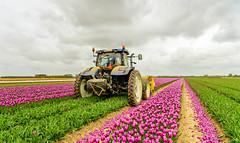 Mechanized cutting off the flower heads in a tulip field (RuudMorijn-NL) Tags: bedden bewolkt bloem bloembedden bloembollen bloemen bloemhoofden bloemstengels bollen bollenkweker convergerend goereeoverflakkee hemel jaar koppen koppensnellen kweker landbouw lange lente lentedag lucht machinaal maliepaard man natuur oostflakkee oudetonge paars paarswit rijen tractor trekker tulipa tulp tulpen tulpenbollen verdwijnpunt voorjaar werk werker wit wolkenlucht zuidholland dutch netherlands tulips mowing machine rows colorful purple green vanishingpoint converging lines landscape holland europe southholland bulbs nursery grower petals flowers flowerheads blossoming blooming blooms colored agricutlure soil dirt mechanized