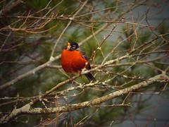 Praising robin (dan.kalashian) Tags: robin bird wildlife nature tree aperture focus avairy forest spring summer relax birds robins birch animal