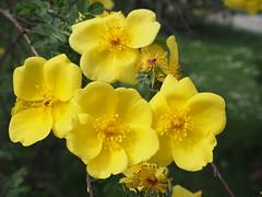 """Rosa """"Golden Chersonese"""" (tgrauros) Tags: frança groc jardindesplantes parís rosas rosegoldenchersonese roserar roses jaune"""