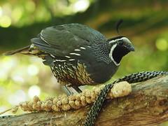 California Quail - likes parrot food (digitaltrails) Tags: zealandia californiaquail callipeplacalifornica