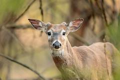 White-tailed Buck (wn_j) Tags: nature naturephotography animals wildlife wildanimals wildlifephotography heinzwildlife heinz johnheinz heinznwr canon canon5d4 deer buck