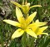 Gagea lutea (Linnæus 1753) (Liliales Liliaceæ Lilioideæ Lilieæ) (Elena Regina) Tags: gagea liliales liliaceae lilioideae plantae gagealutea lilieae