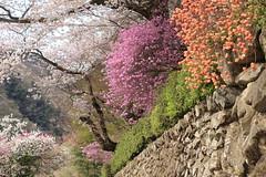 Full Spring Colors(Ryuzuin,Hinohara,Tokyo) (seiji2012) Tags: 桜 石垣 ツツジ 龍珠院 乙津 檜原村 cherrytree cherryblossom hinohara ryuzuin yourbestoftoday