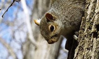 Ecureuil gris / Squirrel / Sciurus carolinensis