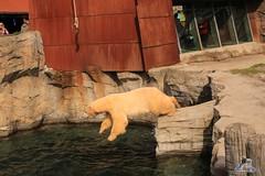 Erlebniszoo Hannver 15.04.2017 097 (Fruehlingsstern) Tags: eisbären polarbear sprinter melana elefanten seelöwen weiskopfseeadler yukonbay erlebniszoohannover hannover canoneos750 tamron16300 zoo