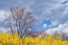 Spring 2017 (Bill Wakeley) Tags: spring blue blues bluesky blueskies clouds yellow forsythia floweringbush floweringbushes springflower springflowers yellowflower yellowflowers springday sunny earlyspring connecticutspring springtime seasonal springplants connecticut newengland litchfieldcounty springscenes springscene floral scenicspring newenglandlandscapes newenglandlandscape connecticutlandscapes rurallandscapes connecticutlandscape rurallandscape springflorals springfloral popular photographs